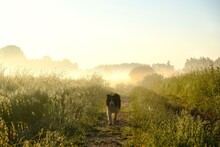 Happy Border Collie Dog During Walk On Wet Fields With Dew In Misty Morning With Light Of Sun.