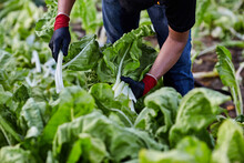 Unrecognizable Crop Male Worker In Gloves Collecting Fresh Ripe Lettuce On Plantation On Agricultural Farm In Summer