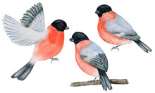 Watercolor Bullfinch Christmas Bird Set. Hand Painted Illustration Isolated On White Background. Winter Red Flying Bird. Holiday Nature For Card, Poster Design Concept