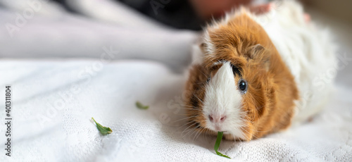 Fotografie, Obraz Background with guinea pig . Beautiful calm rodent pet