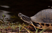 Florida Three Toed Box Turtle Standing Next To A Lake With Head Stretching