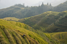 A Yao Farmer Harvests His Rice Crop In The Beautiful Terraces Of Longsheng, Guanxi Province, China.