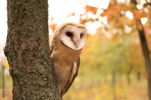 Fotomural Beautiful common barn owl on tree outdoors