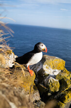 Beautiful Puffin On The Cliff.