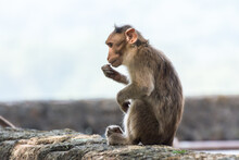 An Indian Monkey (Indian Macaques, Bonnet Macaques) Eating Food With Its Hand
