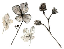 Watercolor Illustration Of Elegant Dried Flowers  With A Muted Color, Black-and-white Sketch Made By Hand, Isolated On A White Background.