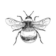 Hand Drawn Bumblebee Isolated On White Background