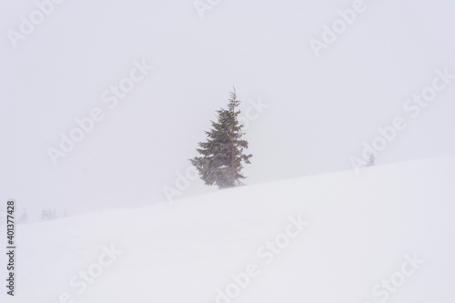 Canvas Print Green spruce on a snow-covered mountainside. Windy weather.
