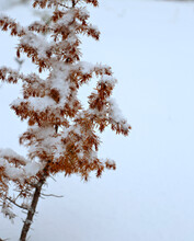 Branch Of Larch With Red Needles Is Covered With Snow On White Background