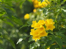 Yellow Elder, Magnoliophyta, Angiospermae Of Name Gold Yellow Color Trumpet Flower, Ellow Elder, Trumpetbush, Tecoma Stans Blurred Of Background Beautiful In Nature Flowering Into A Bouquet Of Flower