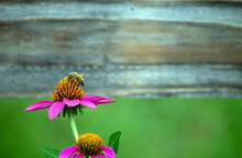 A Close Up Look At A Honey Bee Gathering Pollen From A Pretty Purple Coneflower Against A Nicely Defocused Background Offering Plenty Of Space For Text