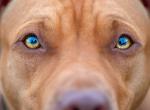 Close-up Photographed Eyes Of An American Pit Bull Terrier.