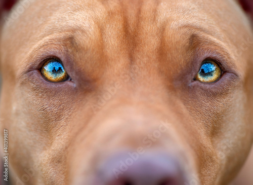 Fotografiet Close-up photographed eyes of an American Pit Bull Terrier.