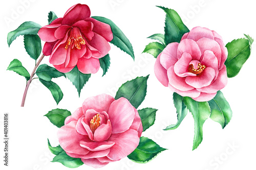 Canvas Camellia on white background, spring watercolor flowers, botanical illustration