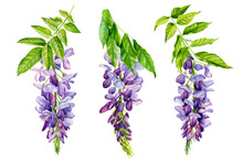 Watercolor Flowers, Wisteria On White Background, Spring, Botanical Illustration
