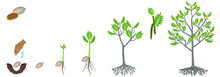 Cycle Of Growth Of A Pecan Nut Plant On A White Background.
