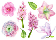 Set Of Watercolor Flowers, Magnolia, Camellia, Amaralis, Hyacinth, Ranunculus On A White Background