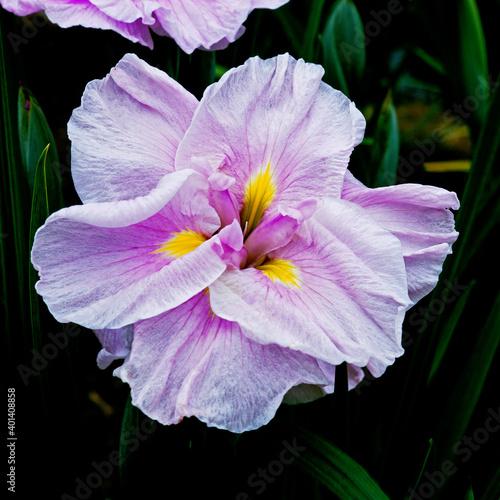Japanese Iris Ensata Iseti No-Haru closeup in a bog garden