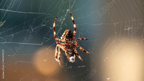 Fotografiet European garden spider (Araneus diadematus)