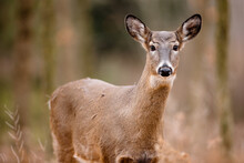 A Young White-tailed Deer Is Curiously Looking At The Photographer In Early December Near Hartford, Wisconsin