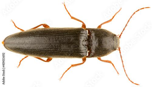 Melanotus villosus is a species of beetle in the family Elateridae and the genus Melanotus Fototapet