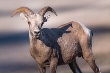 Rocky Mountain Bighorn Sheep (Ovis Canadensis).