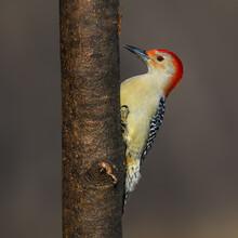 Red-bellied Woodpecker On Tree Trunk In Fall, Portrait