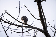 Close Up Wildlife Photograph Looking Up At The Tail And Back Side Of A Cooper's Or Chicken Hawk Roosting On A Tree Branch.