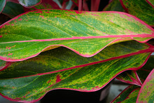 The Pink Edges On A Chinese Evergreen Plant