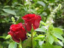 Close-up Of Two Red Roses, Illuminated By The Morning Light, Surrounded By Some Flowering Branches Of Clove Basil. Defocused Green Background.