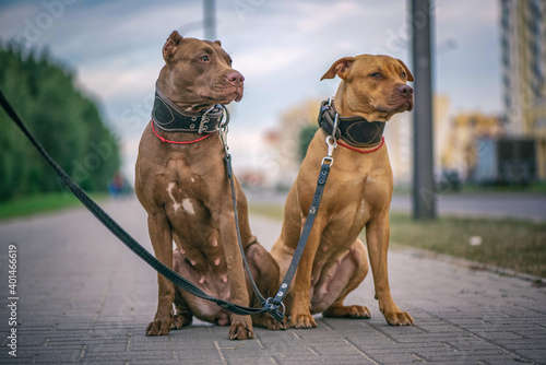 Tela Portrait of two American Pit Bull Terriers on a city street.