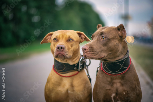 Papel de parede Portrait of two American Pit Bull Terriers on a city street.