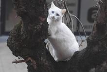 White Cat With Blue Eyes Potrait