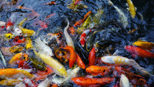 Colorful School Of Japanese Koi Carp Fish In The Pond