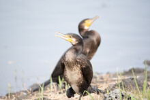 It Is A Bird Called A Great Cormorant In A Park In Tokyo, Japan.