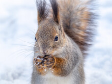 The Squirrel Sits On White Snow With Nut In Winter.