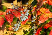 Mahonia Japonica Also Known As The Oregon Grape An Evergreen Garden Shrub Native Of Asia, Stock Photo Image