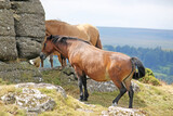 Dartmoor ponies on Meldon Hill