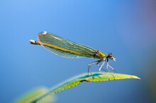 Dragonfly On Leaf. An Orange Colored Dragonfly Is Sitting On Tip Of Green Leaf. Close-up Photo Of Beautiful Dragonfly.