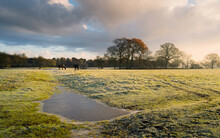 Frozen Grassland In Winter With Horses Grazing And Trees At Sunrise. Beverley, UK.