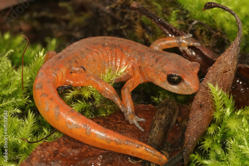 Canvas Print Ensatina eschscholtzii intermediate form