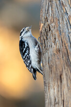 A Downy Woodpecker In Wyoming.
