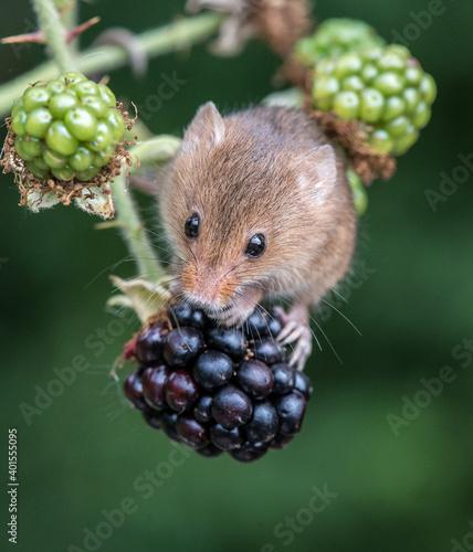 Fotografie, Obraz Harvest Mouse on blackberry 3908