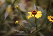 August In The Garden, A Common Sneezeweed Flower, Bokeh