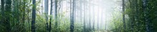 Panoramic View Of The Mysterious Evergreen Forest In A Fog. Ancient And Young Pine, Spruce, Fir, Deciduous Trees Close-up. Atmospheric Landscape. Nature, Ecology, Reforestation. Fantasy, Fairytale