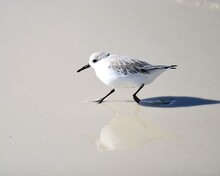 A Sanderling Foraging Along The Water's Edge At Laguna Beach In Panama City Beach, Florida