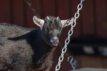 Baby Goat On A Swing
