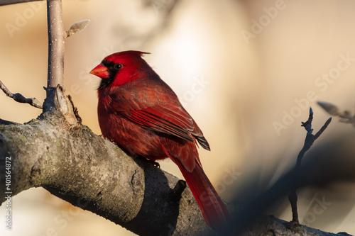 Foto cardinal on a branch