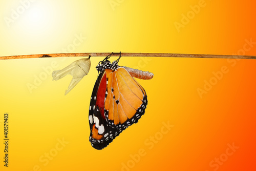 Valokuva Amazing moment ,Monarch Butterfly , caterpillar, pupa and emerging with clipping path