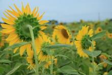満開のヒマワリの花【8月】